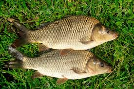 freshwater fish carp catch in green grass stock photo picture and