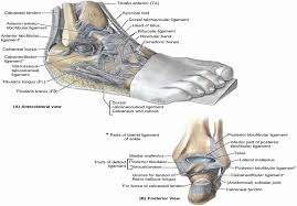 Posterior Inferior Tibiofibular Ligament 012 Hip Knee And Ankle Anatomy Flashcards Memorang