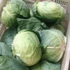 cabbage china quality of fresh cabbage from china fresh flat
