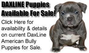 american pitbull terrier for sale ohio ed shepherd american bullies home of grand champion dax