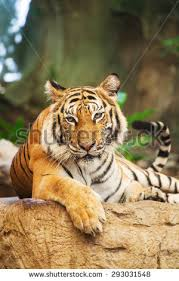 bengal tiger forest leg stock photo 293031548
