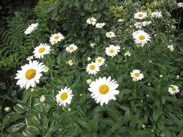 shasta daisies are garden show stoppers silive com