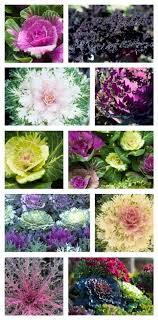 best 25 ornamental cabbage ideas on fall flower pots