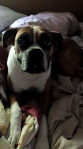 boxer dog utah utah family get surprise when they discover their dog is alive