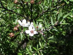 what plants are native to australia leptospermum scoparium wikipedia
