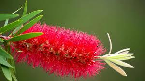 Hummingbird Plant Red Bottlebrush Plant Bush C Citrinus Hummingbird Visit Alt