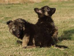 belgian shepherd kijiji king shepherd dogs home facebook