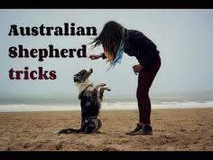 australian shepherd training tips australian shepherd training tips dog info pinterest