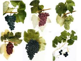 plants native to canada native wine grapes of america wine folly