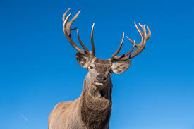 When Do Deer Shed Their Antlers by How And Why Do Deer Shed Their Antlers Animalwised