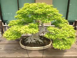 the art of bonsai trees history photo review saholany com