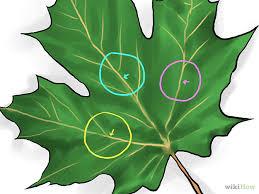 maple tree symbolism identify sugar maple trees growing tree garden ideas and gardens