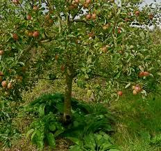 planting comfrey fruit trees orchard fruit