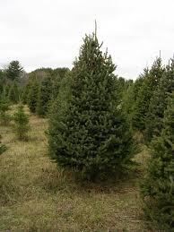 christmas tree descriptions