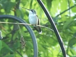 Hummingbird Migration Map Hummingbird Migration 2012 Wild Birds Unlimited