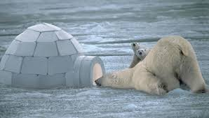 Funny Polar Bear Video & Pics