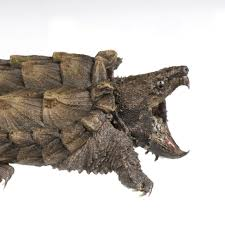 alligator snapping turtle national geographic