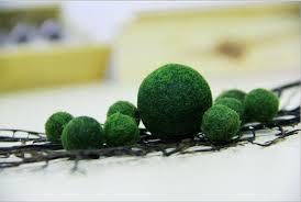 1 japanese marimo moss ball live aquarium aquatic plant for