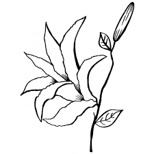 free printable lily flower coloring pages for