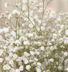 Bulk Baby S Breath Best 25 Babys Breath Flowers Ideas On Pinterest Babys Breath