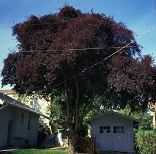 article purpleleaf plum trees by arthur jacobson