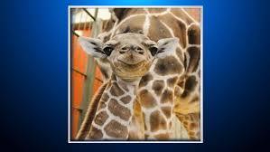 Wild Lights Denver Zoo by Denver Zoo Welcomes Baby Giraffe Cbs Denver