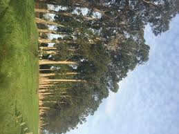 eucalyptus removals in napa ca whit u0027s turn tree care
