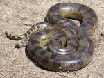งูอนาคอนดาเขียว - วิกิพีเดีย
