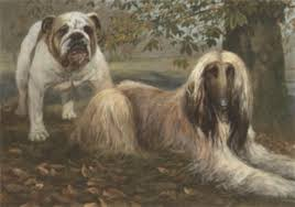 afghan hound breeders victoria a bulldog and afghan hound in a park by spencer roberts afghan