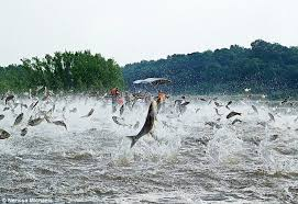 Kentucky lakes images Asian carp die off catches eye of anglers outdoors jpg