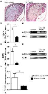 arachidonate 15 lipoxygenase type knockdown leads reduced