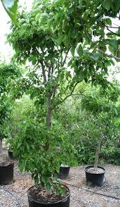 frangula californica wikipedia 100 fruit tree nursery california compact orchard dave