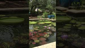 betty saenz at the hill country water gardens u0026 nursery youtube