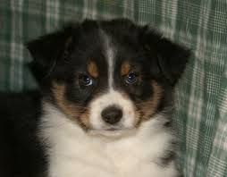australian shepherd pictures 20 australian shepherd puppies that are so adorable you might just