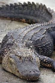 wild alligators images hd wallpapers beautiful images hd
