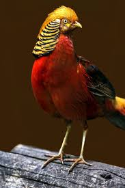 195 best golden pheasants images on pinterest pheasant