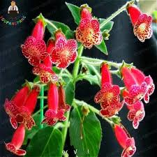 snapdragon flowers 100 pcs bag antirrhinum majus seeds bonsai snapdragon flower seeds