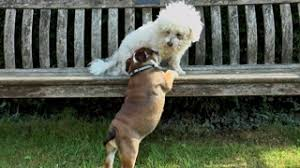 1 week old bichon frise an 8 week old english bulldog puppy following a bichon frise