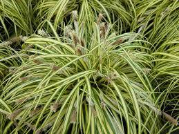 plants flowers japanese sedge grass