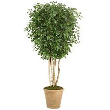 10 topiary ficus tree in large tuscan brown fiberglass patio pot