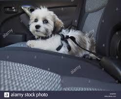 dog seat belt stock photos u0026 dog seat belt stock images alamy