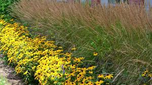 ornamental grasses perennials american