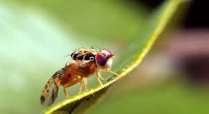 chasser les moucherons dans la cuisine la mouche des fruits lutte traitement et remède biologique