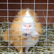 Guinea Pig Cages Cheap Homemade Guinea Pig Cages