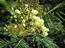 african native plants acacia mearnsii wikipedia