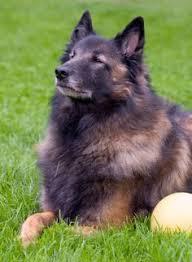 belgian sheepdog tattoo belgian tervuren dogs pinterest belgian tervuren dog breeds