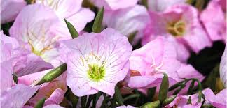 Pink Primrose Flower - evening primrose costa farms