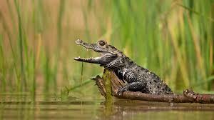 dwarf crocodile wallpaper cute wallpaper better
