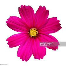 flower images cosmos flower stock photos and pictures getty images
