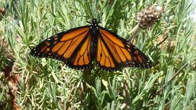 monarch butterfly with wings stock photo image of
